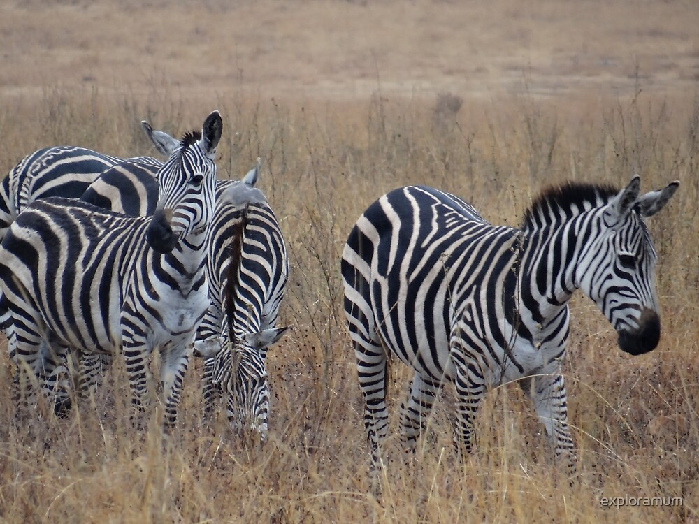 Zebras walking in the grass 1 by exploramum