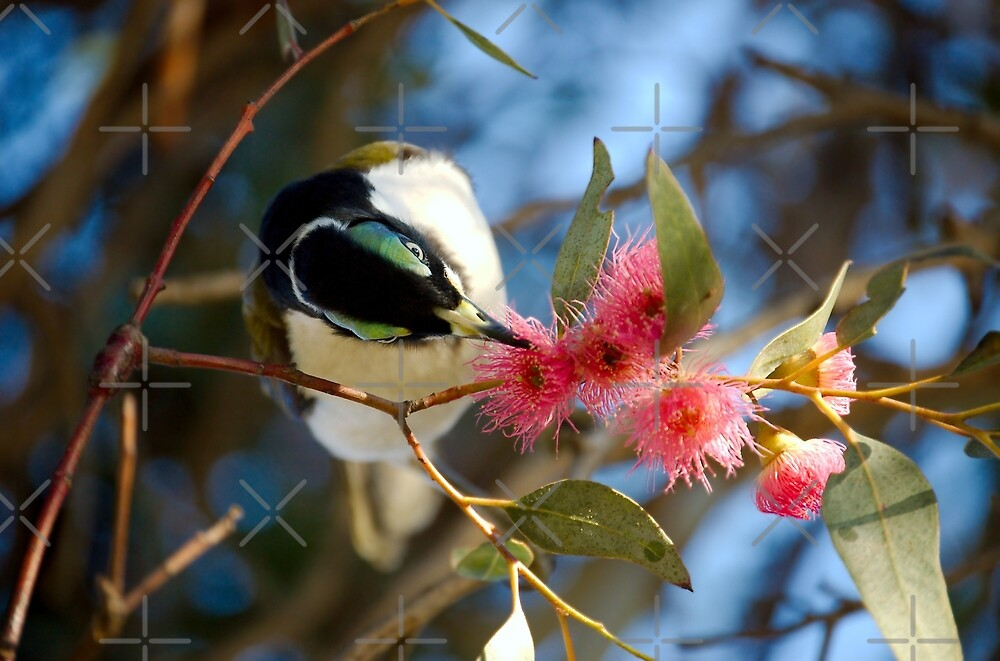 Blue-faced Honeyeater (Entomyzon cyanotis) by TC-TWS