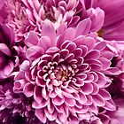 DAHLIA DELIGHT ~ Their color is orchid pink. by Elaine Bawden
