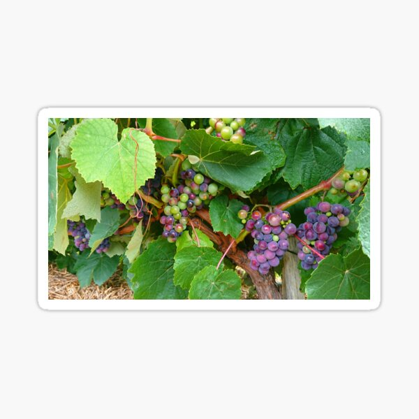 Summer grapes  Sticker