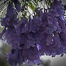 Purple tree Flower collection Leith Park Victoria 20171221 1944  by Fred Mitchell