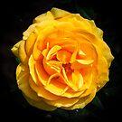 The Yellow Rose by Thaddeus Zajdowicz