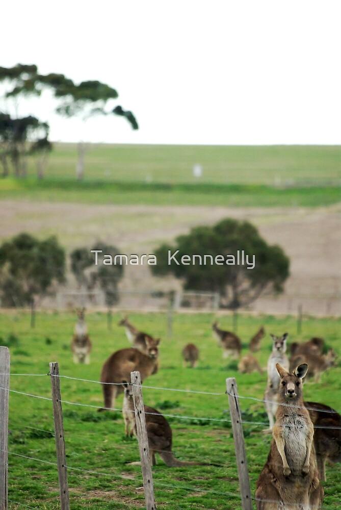 Grey Kangaroos by Tamara  Kenneally