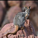 Yellow-footed Rock Wallaby 3 by quentinjlang