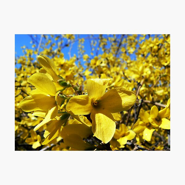 Yellow flowers in bloom Photographic Print