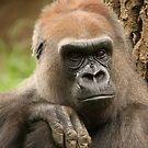 Gorilla by Steve Bullock