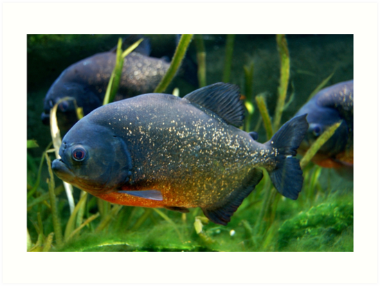 Blue Red Bellied Piranha Fish In Aquarium Art Prints By Hothibiscus