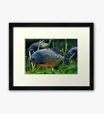 Blue Red Bellied Piranha Fish in Aquarium Framed Print