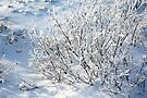 Hoarfrost on Arctic Willow by Carole-Anne