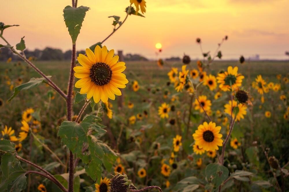 Sunflowers #2 by johnny gomez