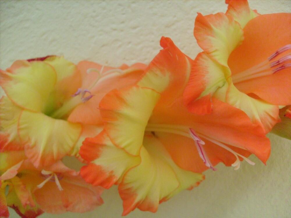 Orange Gladiolus by Ana Belaj