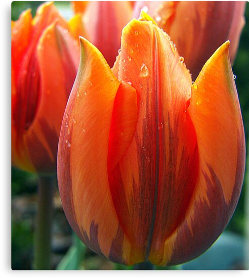 Peach  Tulip by Gayle Dolinger