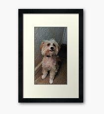 Chinese crested powderpuff dog Framed Print