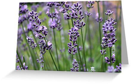 Lavender Plant by Judy Palkimas
