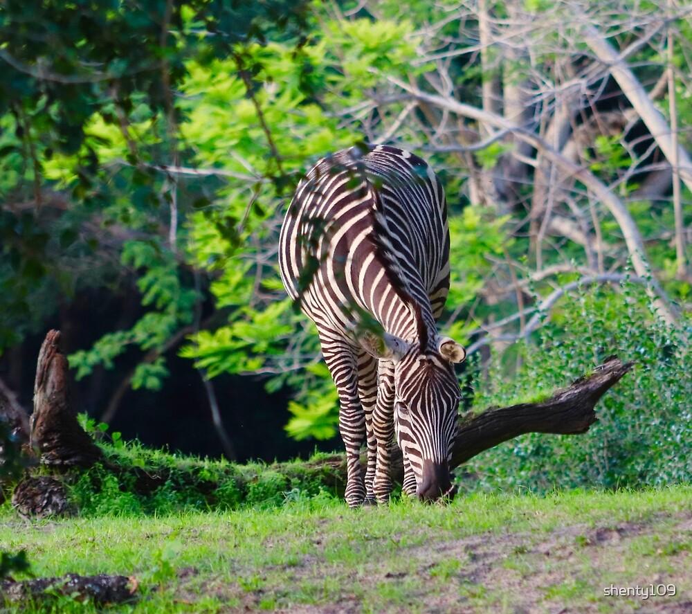 Zebra grazing by shenty109