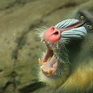 Mandril Yawn by Steve Bullock