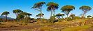 Parasol pines in Provence by Patrick Morand