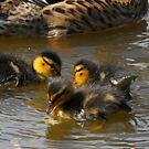 duckling splash by Perggals© - Stacey Turner
