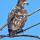 Immature Bald Eagle  by lorilee