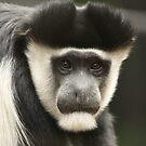 Colobus Monkey by Steve Bullock
