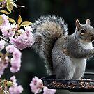 Squirrel in the Blossom by AnnDixon