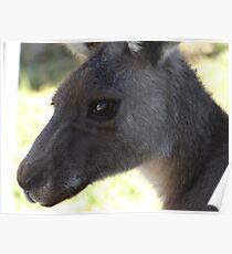 Kangaroo Close up Halls Gap Victoria Poster