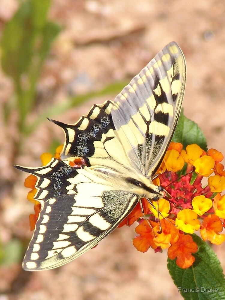 Swallowtail Butterfly by Francis Drake