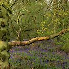 Bluebell Wood 1 by SimplyScene