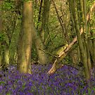 Bluebell Wood 2 by SimplyScene