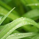dew drops by redscorpion