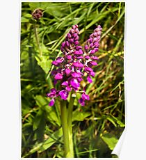 Early Purple Orchid Poster