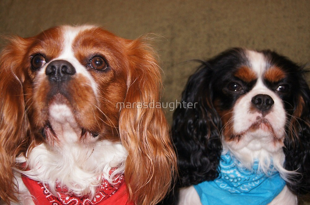 cavalier king charles spaniel group by marasdaughter