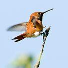 Rufous Hummingbird:  Micro Second to Landing by David Friederich