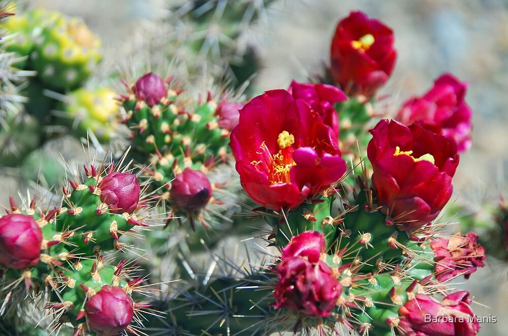 Cholla in Bloom by Barbara Manis
