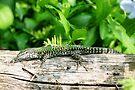 Italian Wall Lizard by Trish Meyer