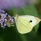 Cabbage White by Geoff Carpenter