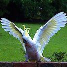 Sulphur Crested Cockatoo landing - Gippsland by Bev Pascoe