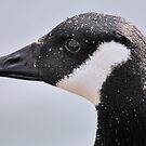 Canada goose profile by relayer51
