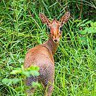Tanzania. Lake Manyara National Park. Dik-dik. by vadim19