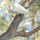 Corellas at Horse Shoe Lagoon 01 by Aden Brown
