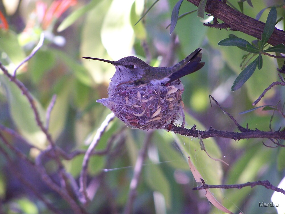 still hummingbird by Mardra