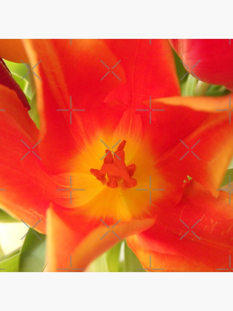 a colorful flower dream, tulips, tulip by rhnaturestyles