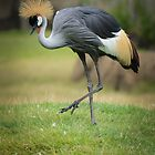 Grey Crowned Crane by Dennis Stewart