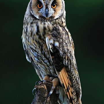 Long-Eared Owl - Asio Otus - Fine Art Photograph Animal Print by MattyTM