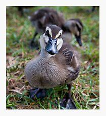 Baby duck Photographic Print