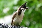 Red-whiskered Bulbul by Trish Meyer