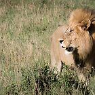 Lion King by Dennis Stewart