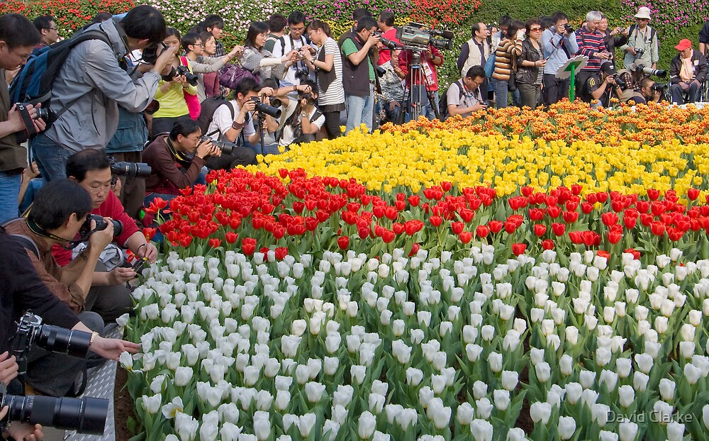 Celebrity Tulips by David Clarke