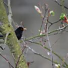 Blackbird in a Tree by dougie1