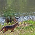 Coyote Visitor II by ArkansasLisa